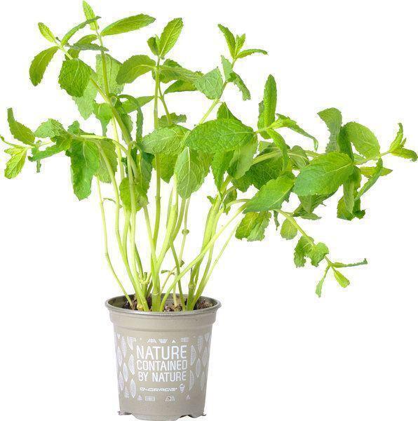 Munt (plantenpot)